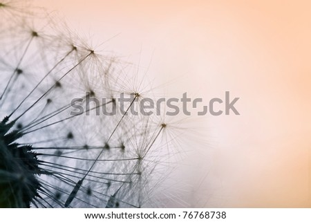 Extreme macro shot of dandelion seeds