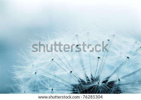 Extreme macro shot of fluffy dandelion seeds with blue background