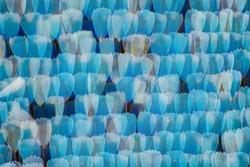 Extreme magnification - Blue morpho (morpho peleides)  wing, 20:1 magnification