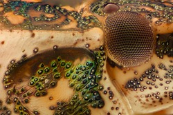 Extreme magnification - Brown Marmorated Stink Bug (Halyomorpha halys) details at 10x