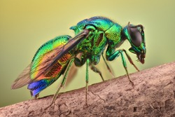 Extreme magnification - Cuckoo wasp