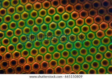 Extreme magnification - Horse fly compound eye under the microscope at 50:1