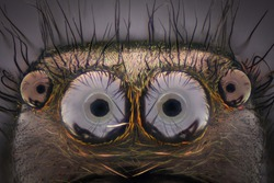 Extreme magnification - Jumping spider portrait
