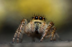 Extreme magnification - Jumping spider portrait, front view