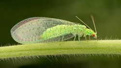 Extreme magnification - Lacewing, Pest control.