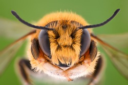 Extreme magnification - Solitaire Bee, Megachilidae
