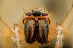 Extreme magnification - White spider, front view