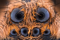 Extreme magnification - Wolf Spider eyes (Lycosidae) at 10x magnification