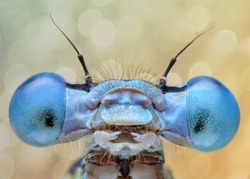 Extreme sharp and detailed macro of blue damselfly