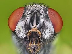 Extreme sharp and detailed macro portrait of fly microskopy stack