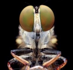 Extreme sharp  and detailed of robber fly (Asilidae) macro, elegant stand on the branch, eye and face very clear.