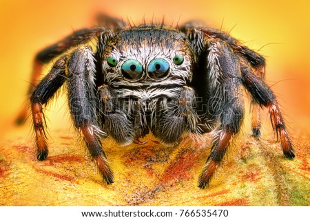 Extreme sharp and detailed portrait of polish jumping spider macro