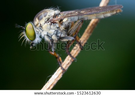 Extreme sharp  and detailed portrait of robber fly (Asilidae) macro at 3X magnification, detail on eye and face very clear.This image taken from super macro equipment.This wildlife from asia thailand.