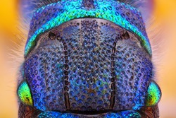 Extreme sharp and detailed study of 6 mm Cuckoo wasp body (Holopyga generosa) taken with 10x microscope objective stacked from many shots into one very sharp photo.