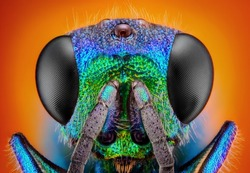 Extreme sharp and detailed study of 6 mm Cuckoo wasp (Holopyga generosa) taken with 10x microscope objective stacked from many shots into one very sharp photo.