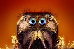 Extreme Sharp close up of Jumping Spider Face