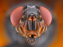 Extreme sharp close up portrait of fly taken with microscope objective