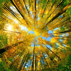 Extreme wide angle upwards shot in a forest, magnificent view to the colorful canopy with autumn foliage colors and blue sky, square format