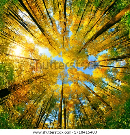 Photo of  Extreme wide angle upwards shot in a forest, magnificent view to the colorful canopy with autumn foliage colors and blue sky, square format