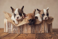 extremely adorable group of three french bulldogs puppies sleeping and resting on burlap sack, posing in an wooden box on beige background