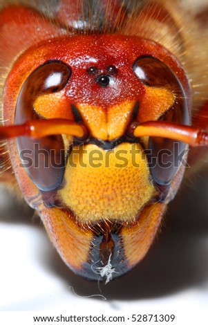 Extremely close-up of a live European Hornet (Vespa crabro) head. Macro shot with shallow dof.