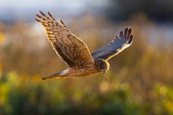 Extremely close view of a female hen harrier (Northern harrier) flying in beautiful light, seen in the wild in North California.