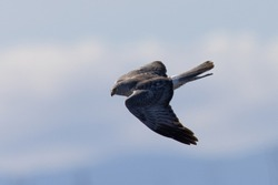 Extremely close view of a male  hen harrier (Northern harrier)  flying in beautiful light, seen in the wild in North California