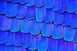 Extremely detailed image of a Morpho Rhetenor Cacica butterfly wing. This image is taken at 30x magnification with a microscope objective.