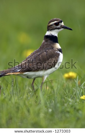 Extremely detailed photo of a Killdeer in the rain.  You can see individual water droplets on the birds body and head.  The bird was located in an Ohio farm pasture.