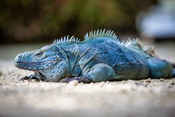 Extremely Rare Blue Iguana (Cyclura lewisi) is protected in the Queen Elizabeth II Botanic Park, where you can find the real natural habitat of this surprising creature. East End, Grand Cayman, Cayman