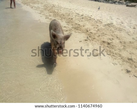 Famous swimming Pig of Exumas, Bahamas Images and Stock