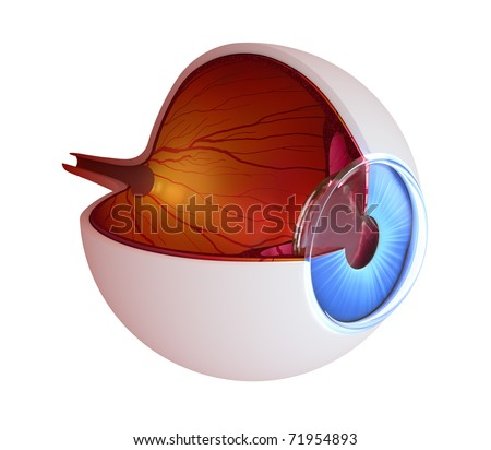Eye anatomy - inner structure isolated on white - stock photo