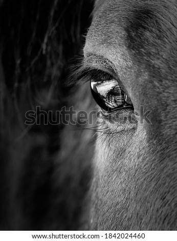 Eye and face of horse in black and white Photo stock ©