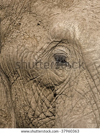 Eye and skin of an African elephant at water hole in Botswana