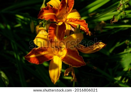 Eye-catching yellow and red Day Lily 'Frans Hals' with sunlight and shadows. Stok fotoğraf ©