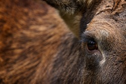 Eye close-up detail portrait of elk or Moose, Alces alces in the dark forest during rainy day. Beautiful animal in the nature habitat. Wildlife scene from Sweden. Coat feather of elk.