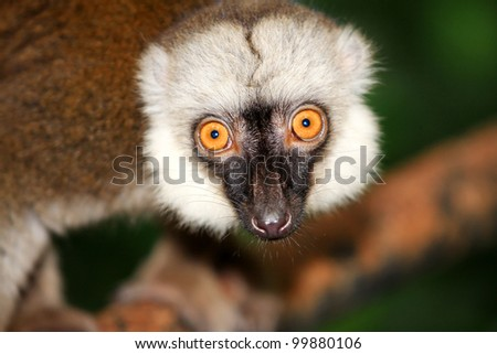 eye contact of asia brown lemurs