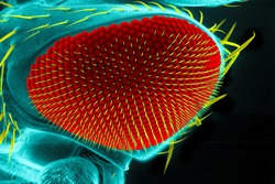 Eye of a common fruit fly ( Drosophila melanogaster), scanning electron microscopy