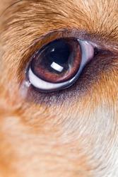 Eye of a dog , macro shot.