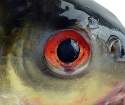 Eye Of A Fish Closeup