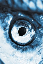 Eye Of A Fish Closeup in a blue color tone
