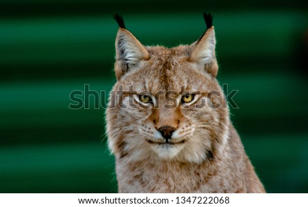 Eye of a lynx, Lynx have a short tail, characteristic tufts of black hair on the tips of their ears, large, padded paws for walking on snow and long whiskers on the face. #1347222068