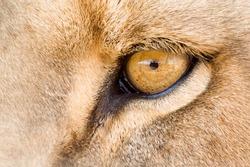 Eye of a male lion, Panthera leo.