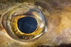 Eye of fish close up