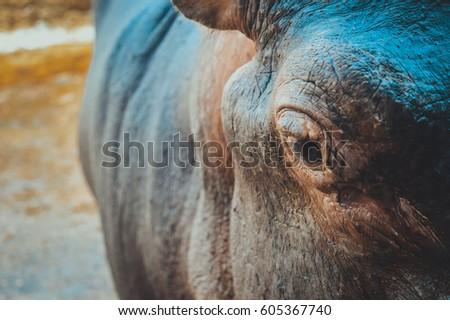 eye of hippopotamus #605367740