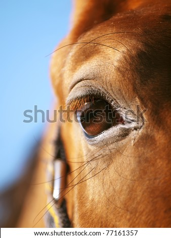 eye of red horse closeup at blue sky - stock photo