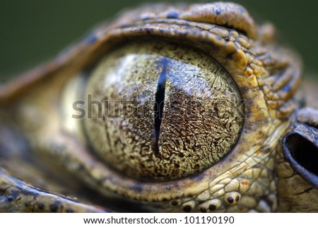 Eye of spectacled caiman (Caiman crocodilus)
