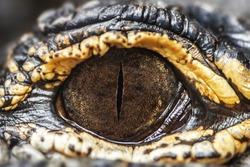 Eye of the American caiman. Very close. Alligator