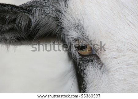Eye of the Goat - closeup of one eye and ear of a goat. #55360597