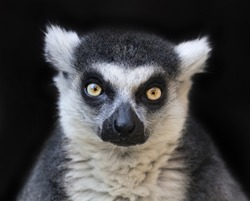 Eye to eye contact with a ring-tailed lemur, Madagascar cat, isolated on black background. One of the most expressive primate of the wild Madagascar jungle. Excellent animal with human like face